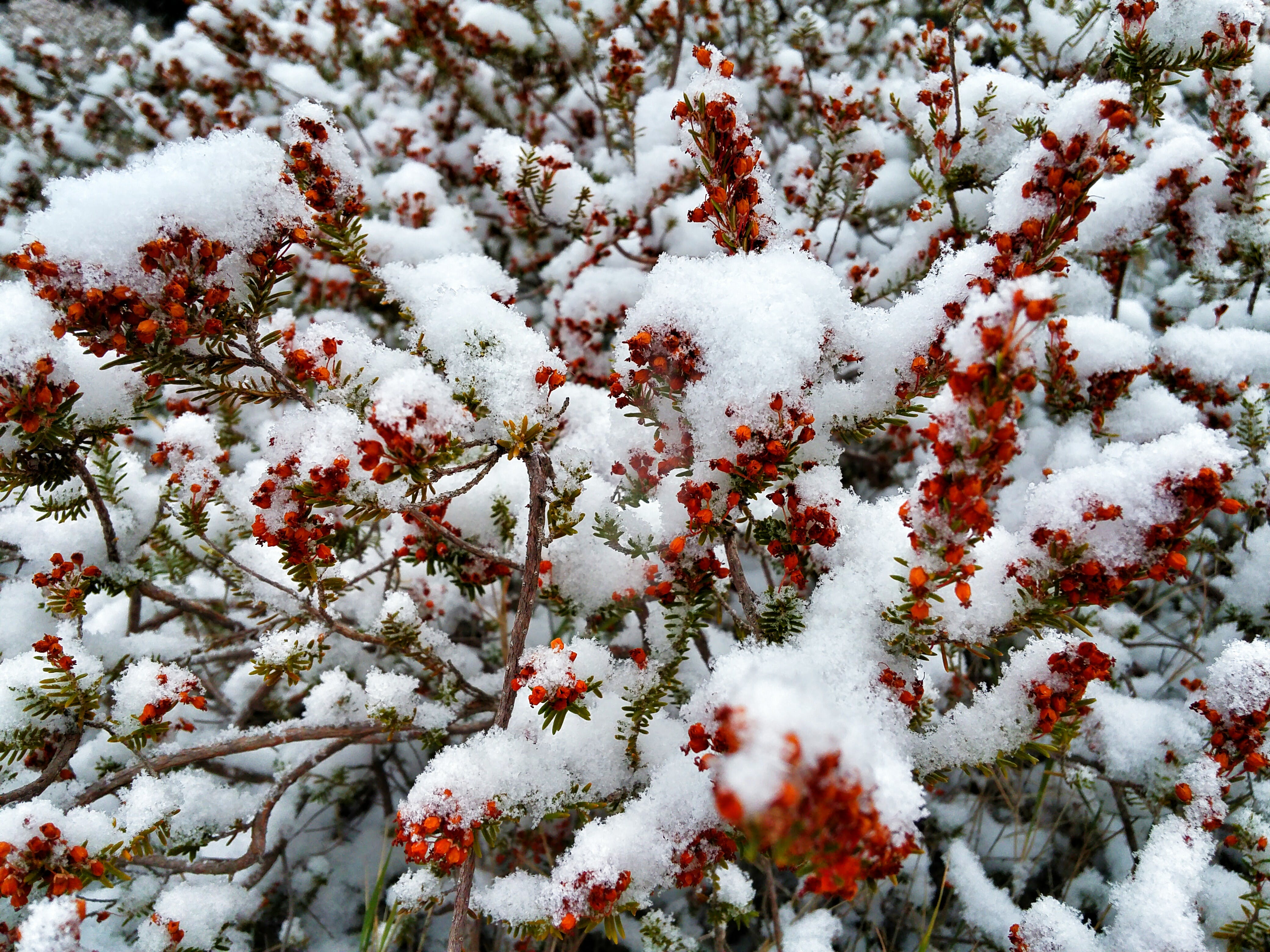Free stock photo of red flowers, snow flowers