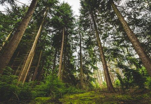 #trees, #松树, #林地, #森林 的 免费素材照片