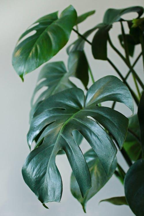 Free stock photo of dark green, decorative plant, evergreen, green