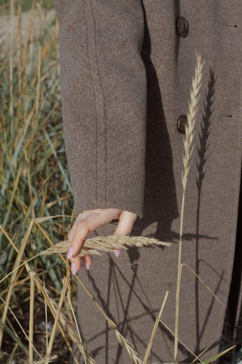 Human hand holding ears of corns