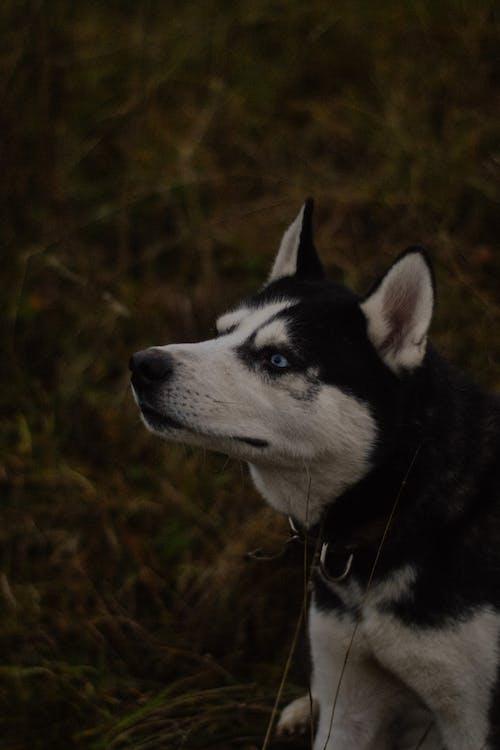 Black and White Siberian Husky Sitting on Green Grass
