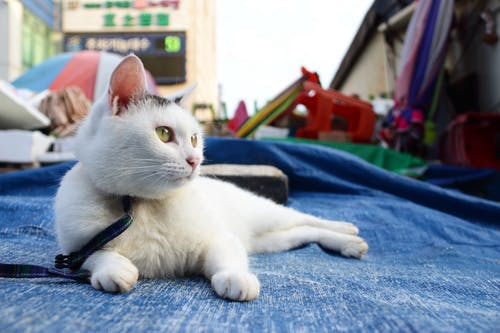 White Cat Lying on Blue Tarpaulin