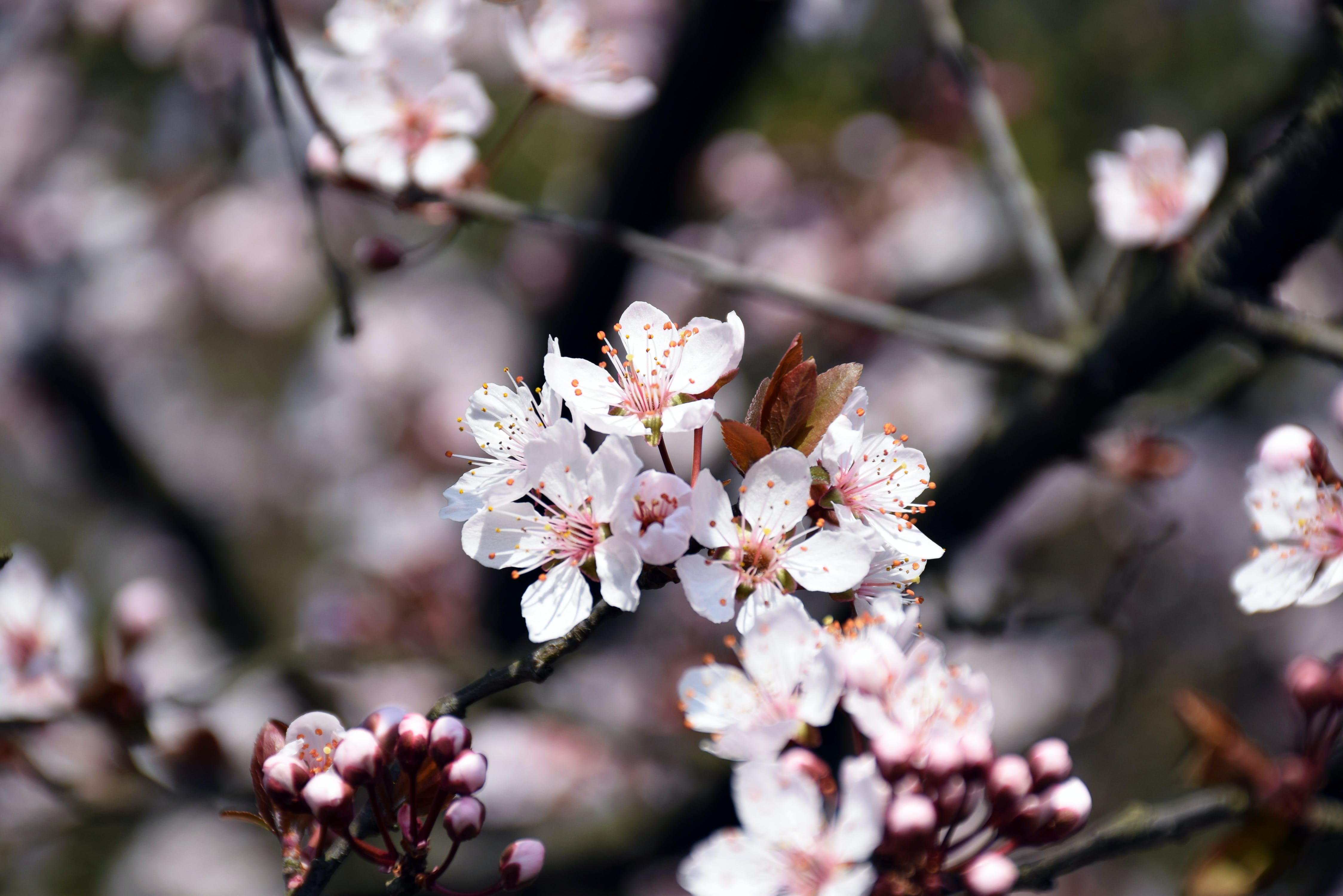 Free stock photo of blossoming, cherry blossom, pink, pink flowers