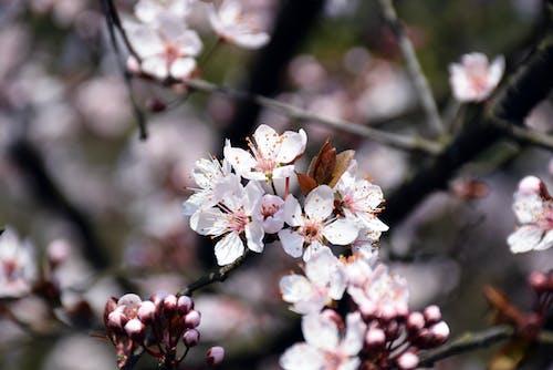 Immagine gratuita di fiore di ciliegio, fiori rosa, sakura