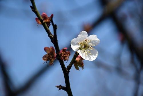 Immagine gratuita di bianco, fiore, fiore di ciliegio, sakura