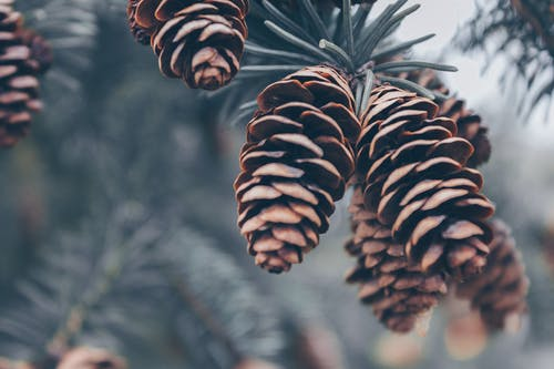 Shallow Focus Photography of Brown Pinecones