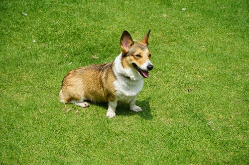 Photograph of an Adult Brown and White Corgi