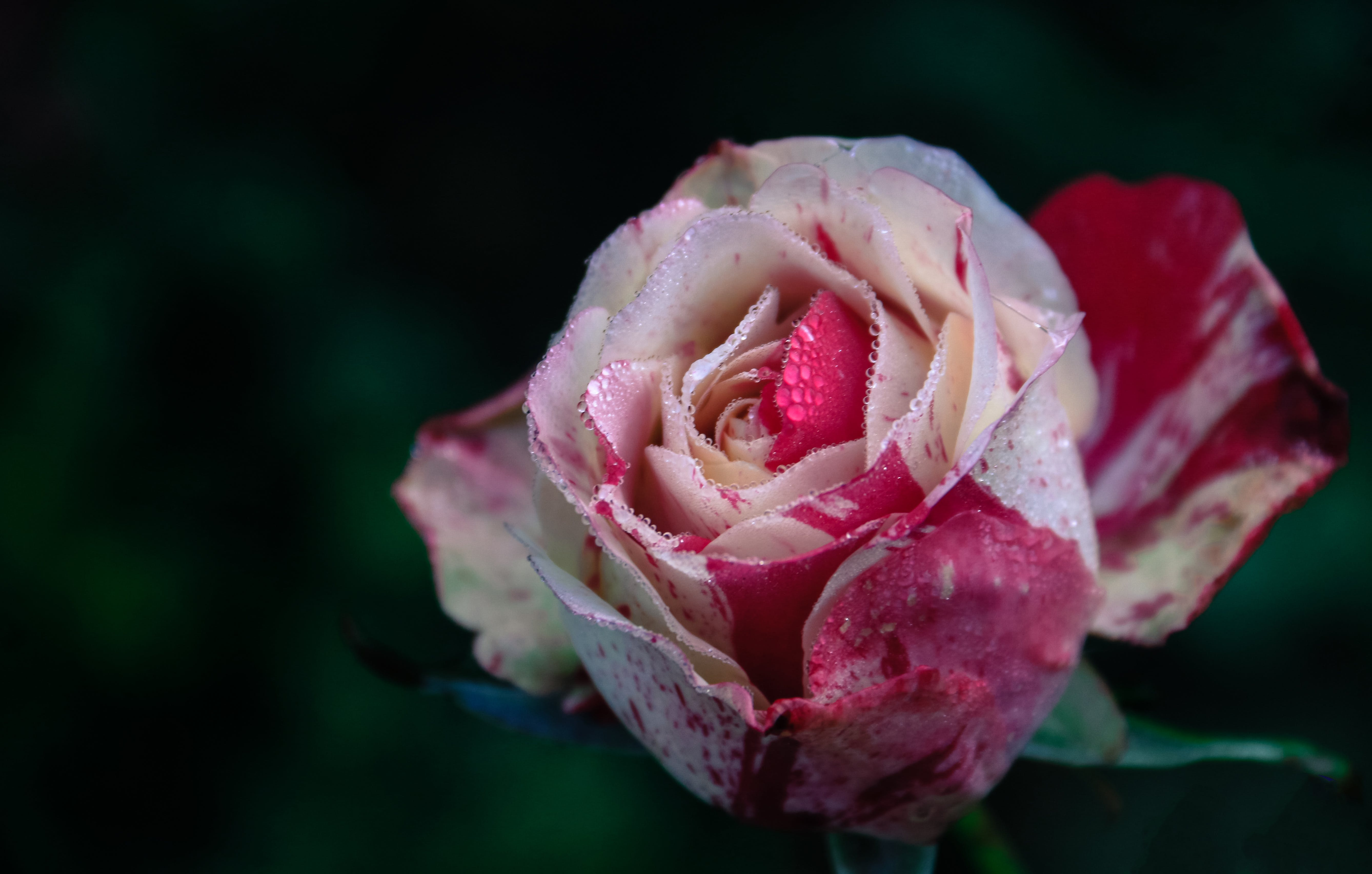 Closeup Photography of White and Pink Rose Flower