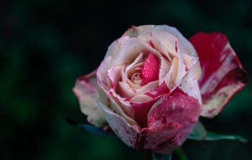 Безкоштовне стокове фото на тему «ботанічний, бутон, великий план, вродлива»