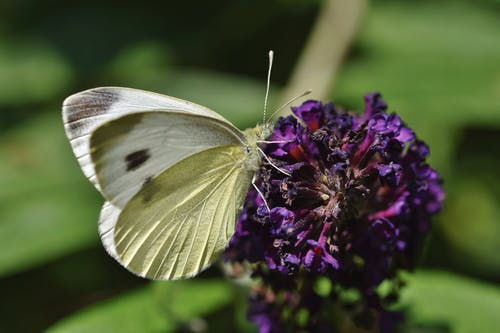 Close-Up Shot of a White Butterfly on a Purple Flower