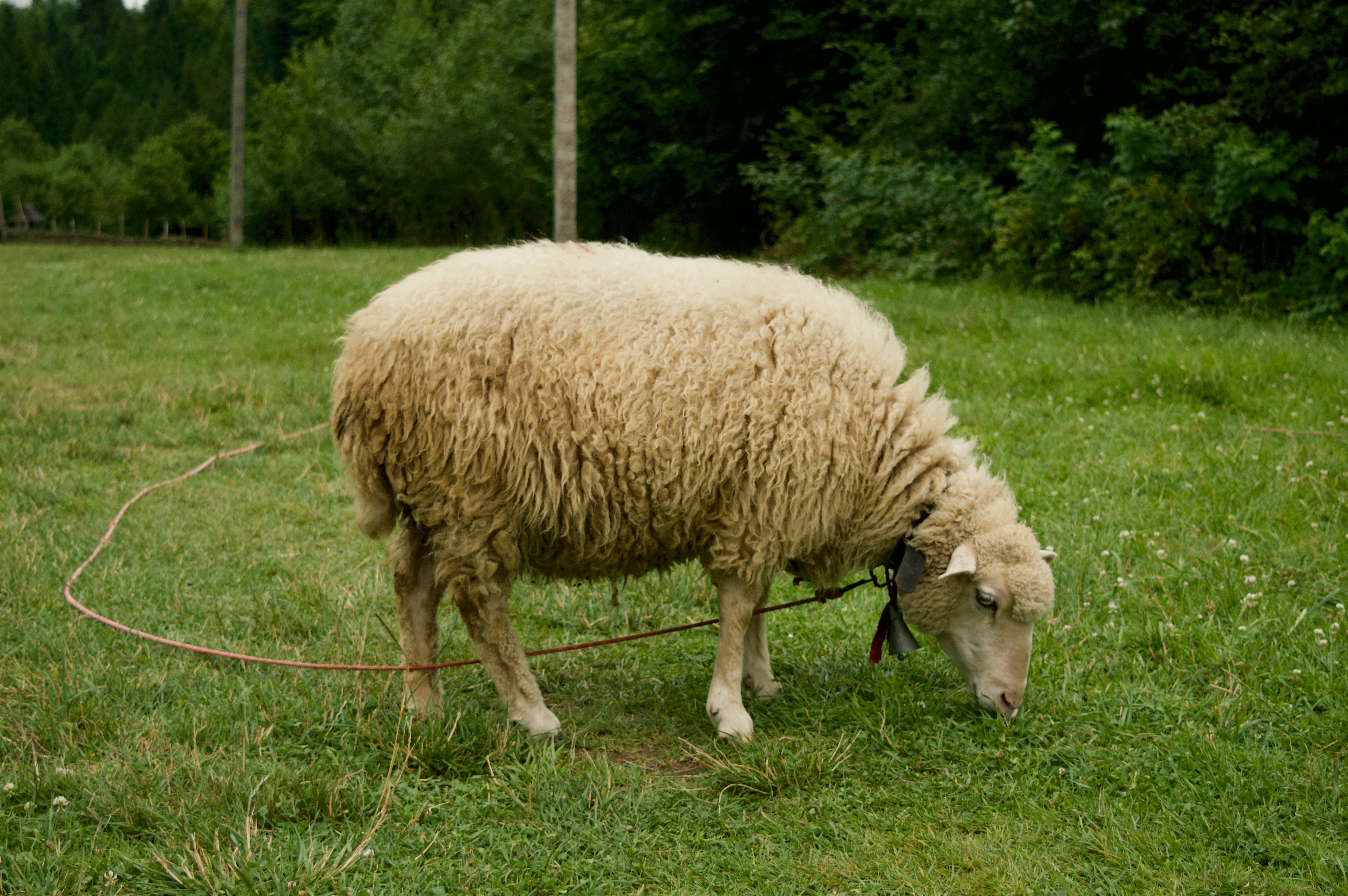 White Sheep On Grass