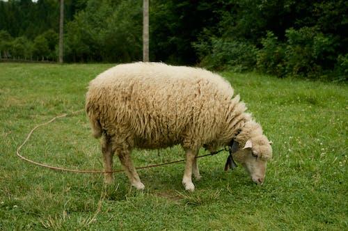 Základová fotografie zdarma na téma farma, hospodářská zvířata, louky, ovce