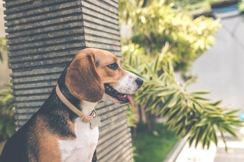 Foto d'estoc gratuïta de animal, assegut, Beagle, buscant