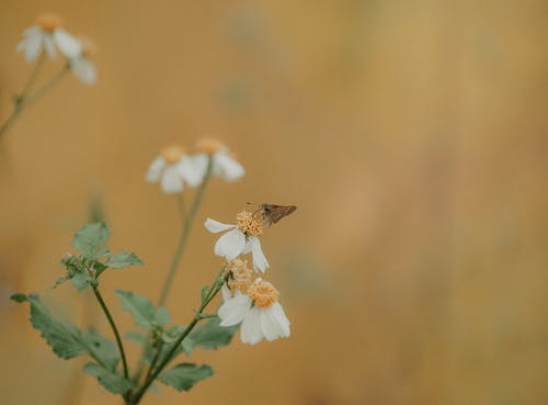 Selective-focus Photography of Brown Moth Perches on White Petaled Flower