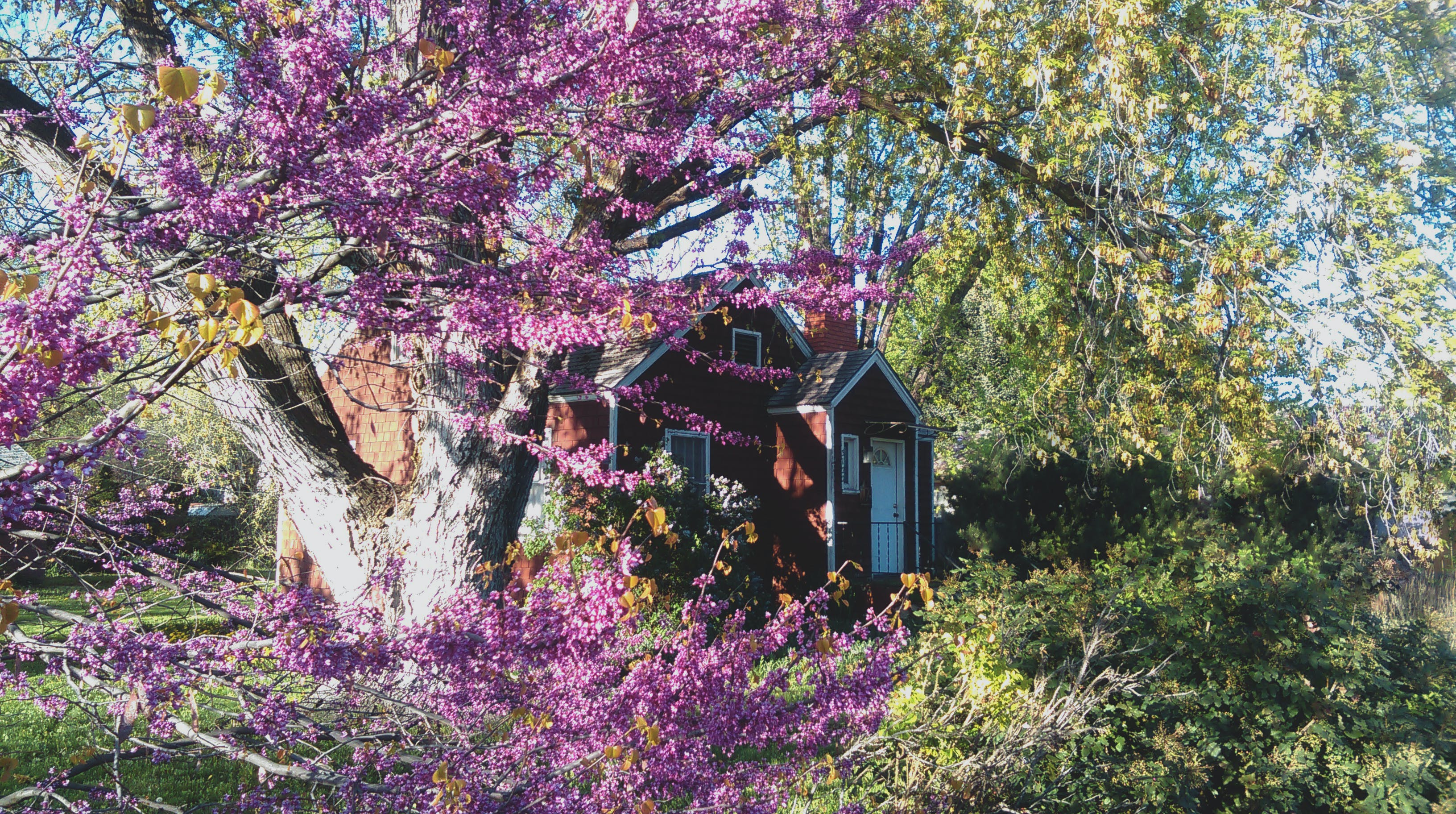 Free stock photo of purple, garden, house, spring