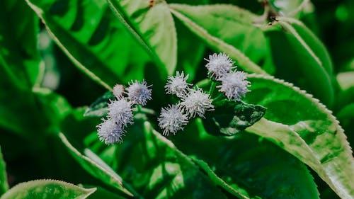 たんぽぽ, フラワーズ, フローラ, 咲くの無料の写真素材