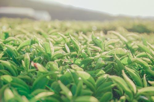 농작물, 농장, 들판, 성장의 무료 스톡 사진
