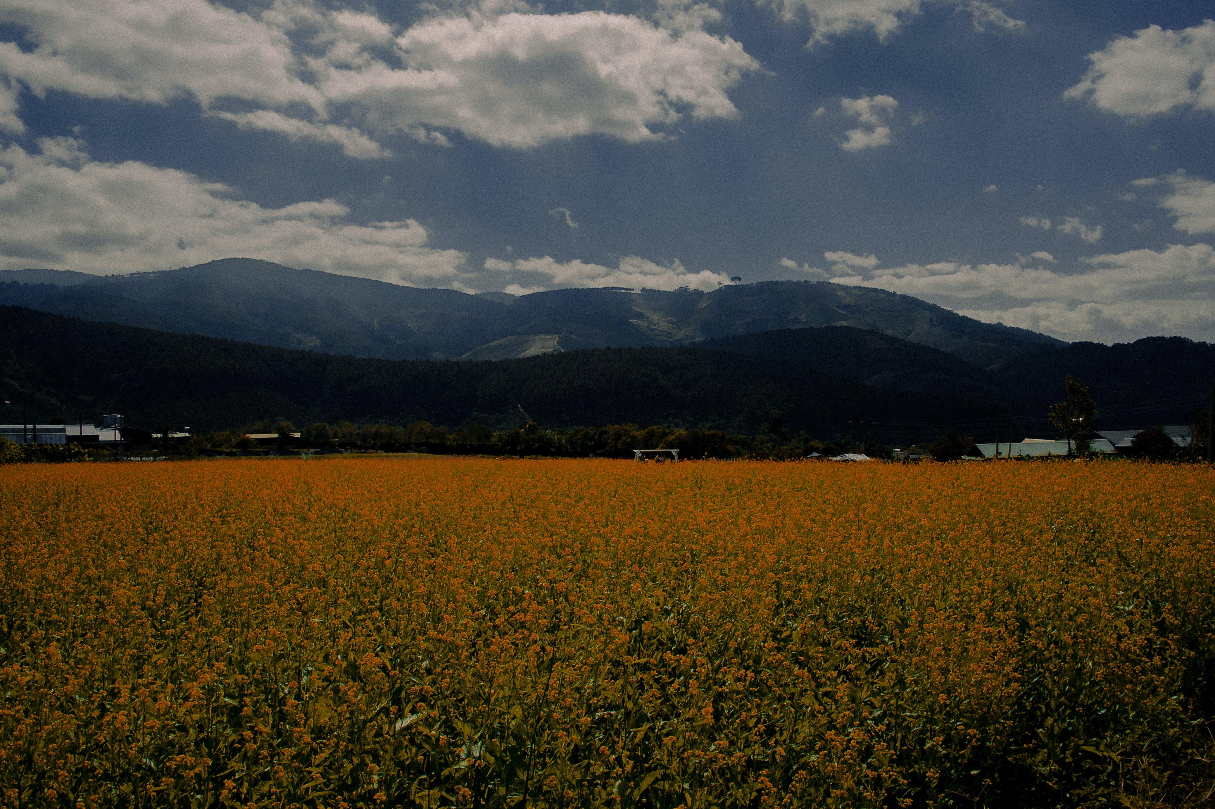 Foto stok gratis alam, awan, bidang, bidang bunga