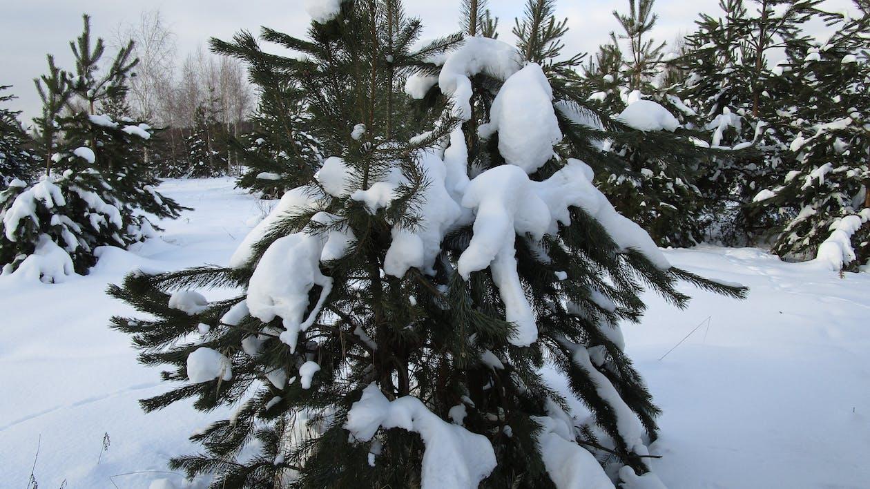森林, 雪