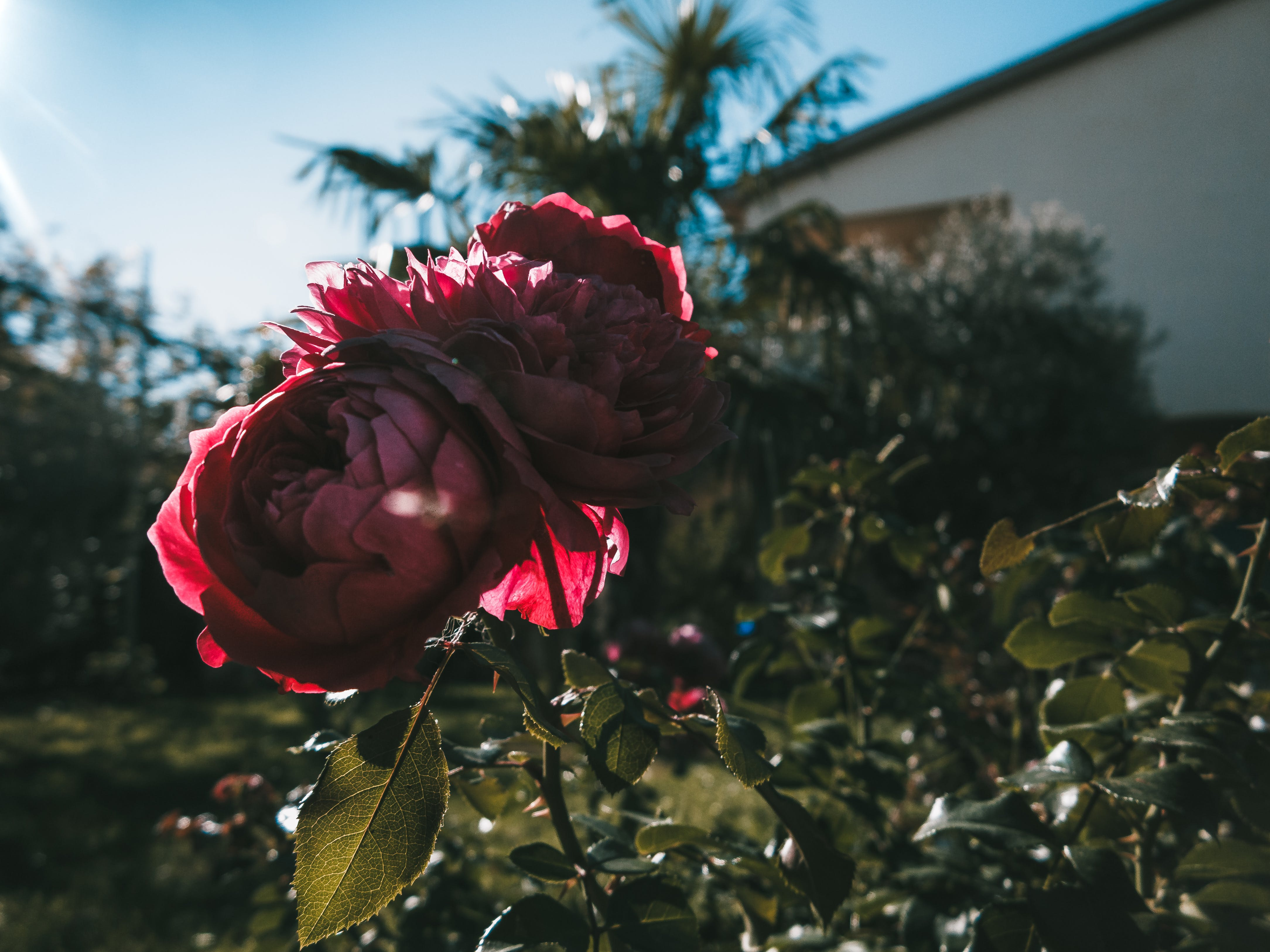 Two Pink Petaled Roses