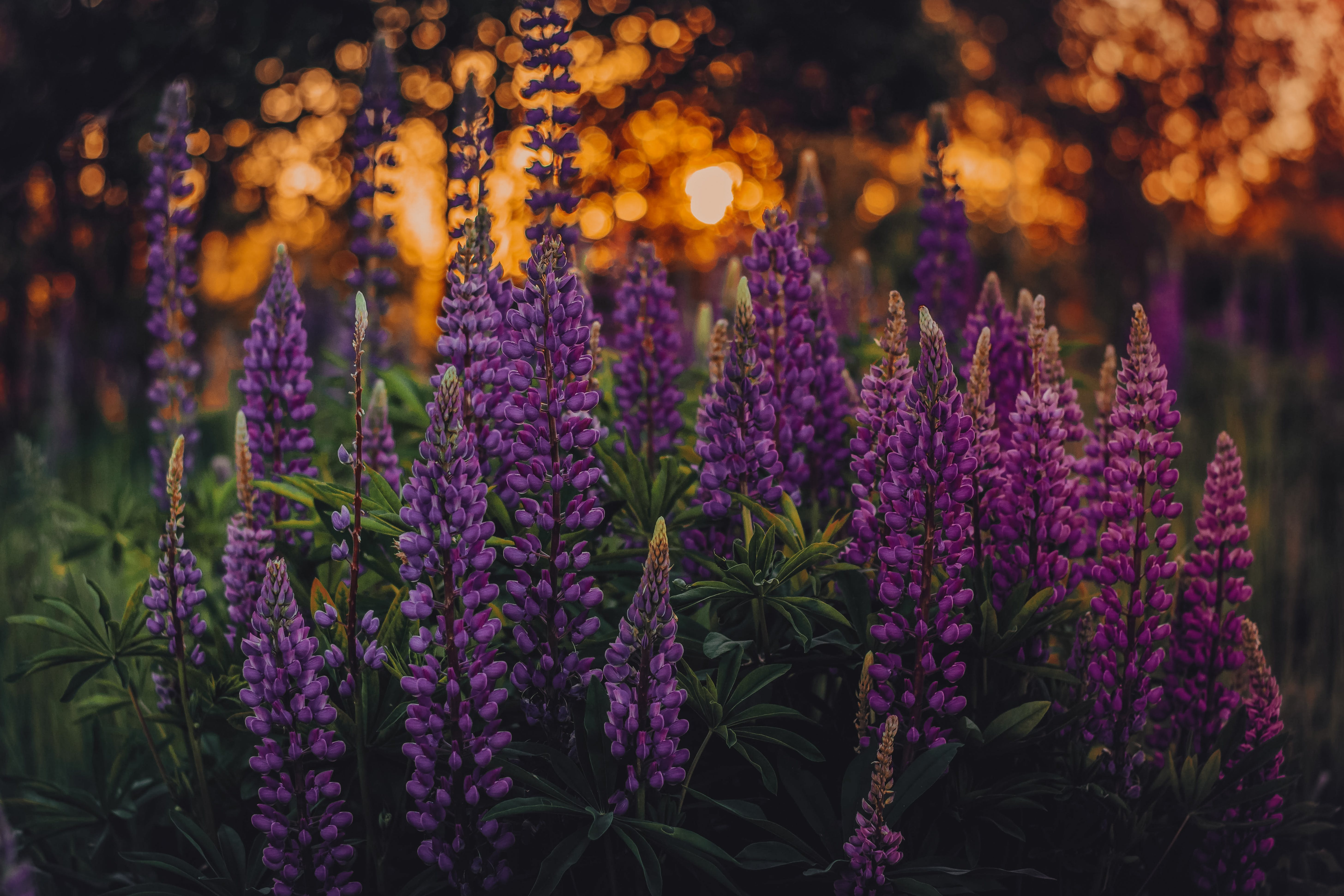 Shallow Focus Photo of Lupines