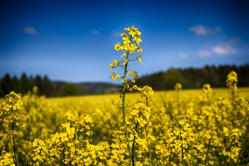 Yellow Rapeseed Field Selective Focus Photography