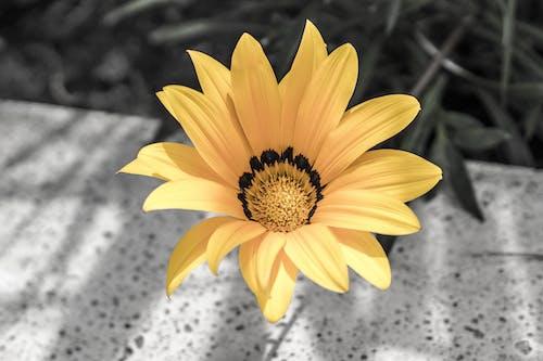 流動, 美麗的花朵, 花, 雏菊花 的 免费素材照片