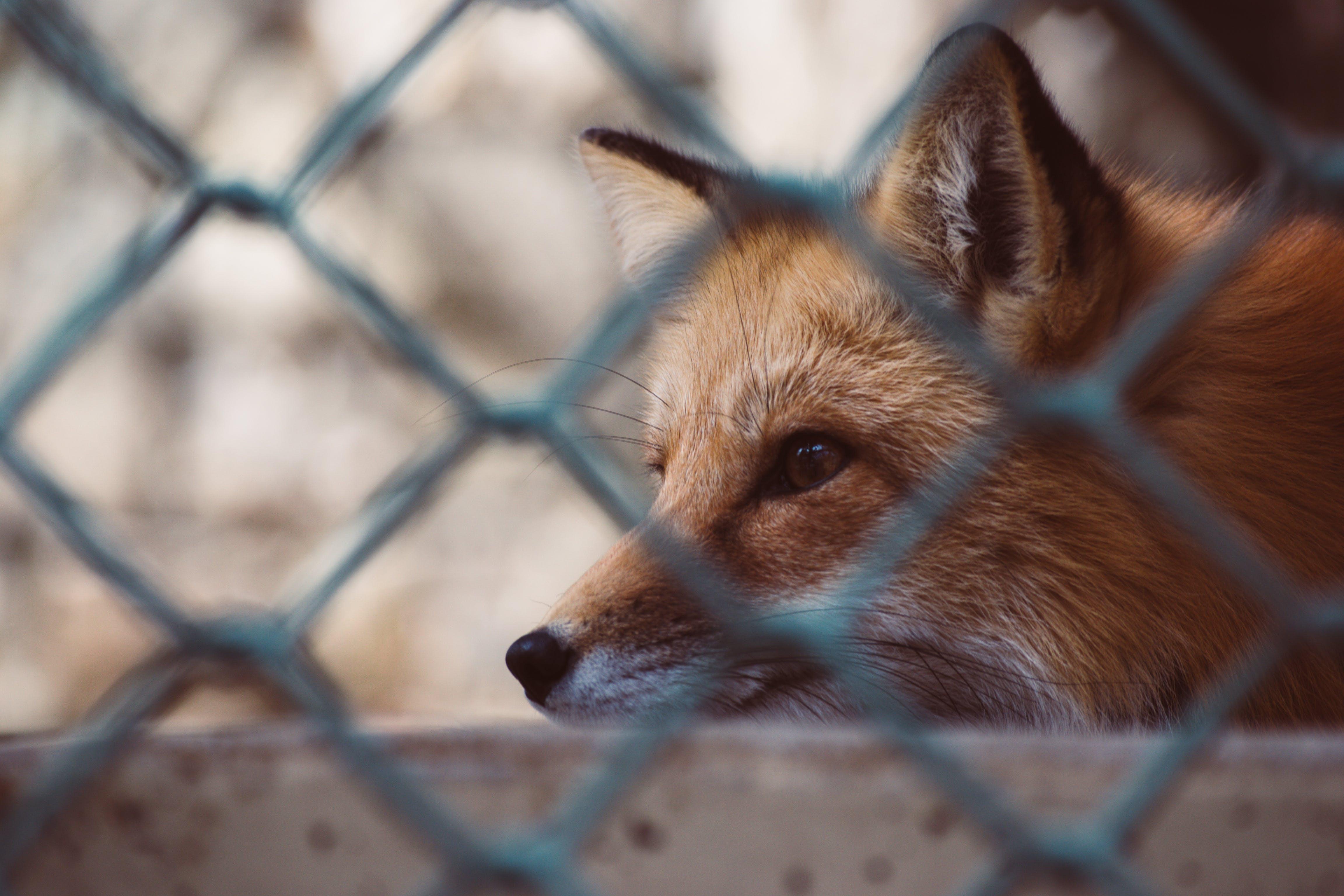 Close Up Photo Of Fox
