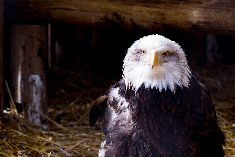 Black and White Eagle on Nest