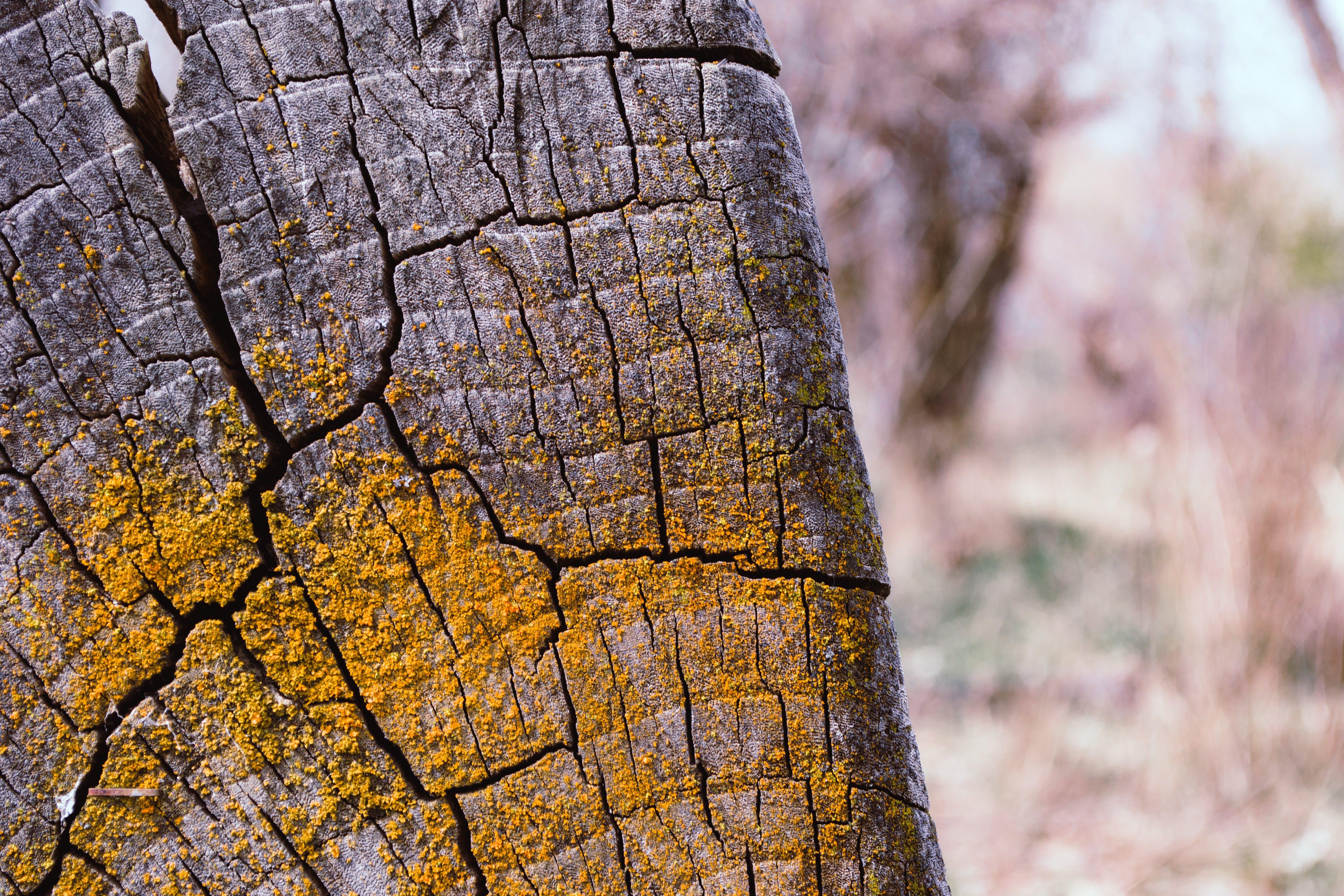 Gray Tree Stump With Yellow Moss