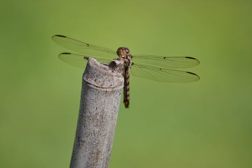 Brown and Black Dragonfly Perching on Brown Bamboo Stick