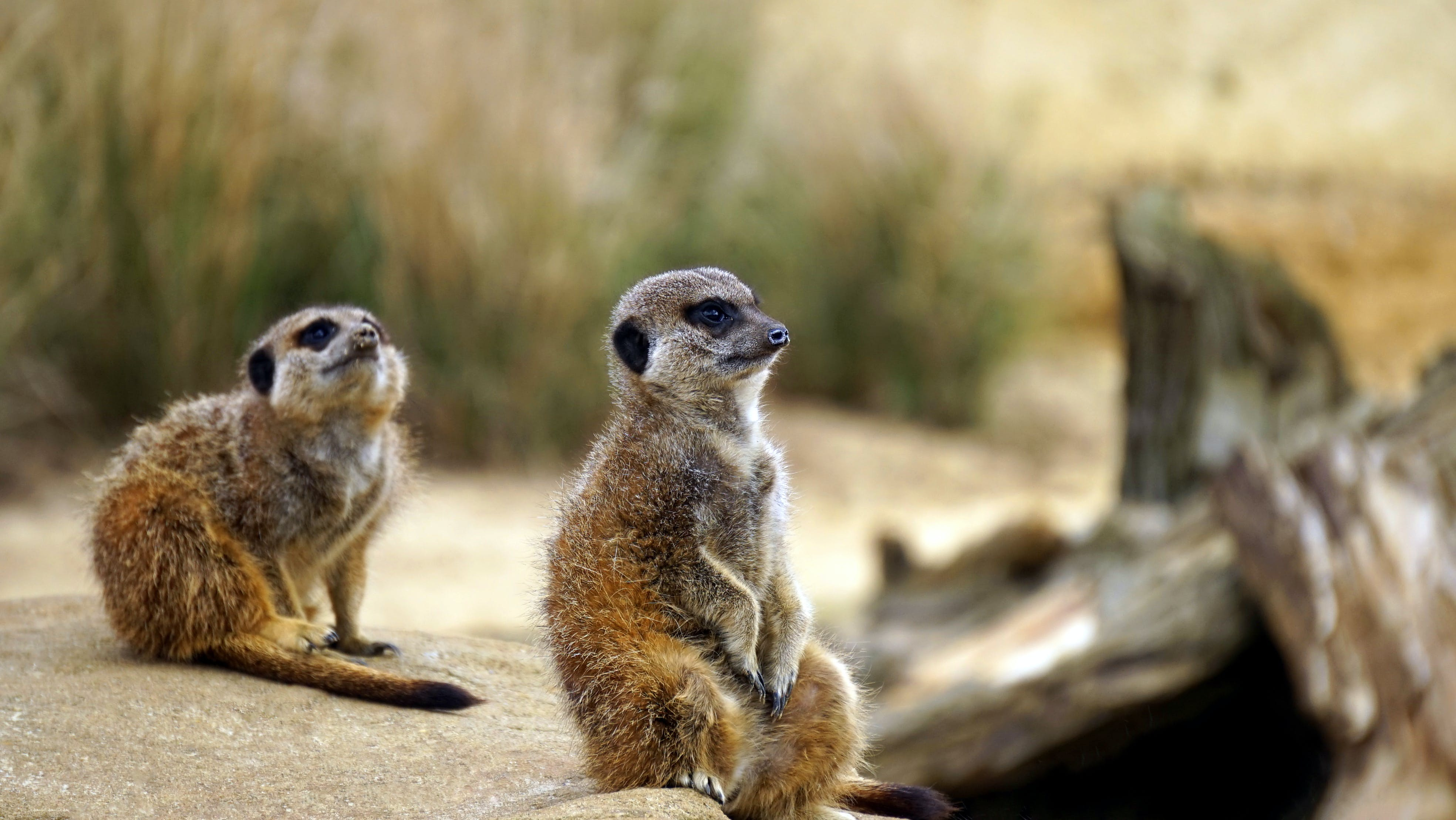 Two Brown Meerkats Near Green Plants Selective Focus Photography