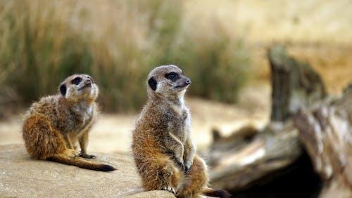 suricates, 動物, 動物攝影, 狐獴 的 免費圖庫相片