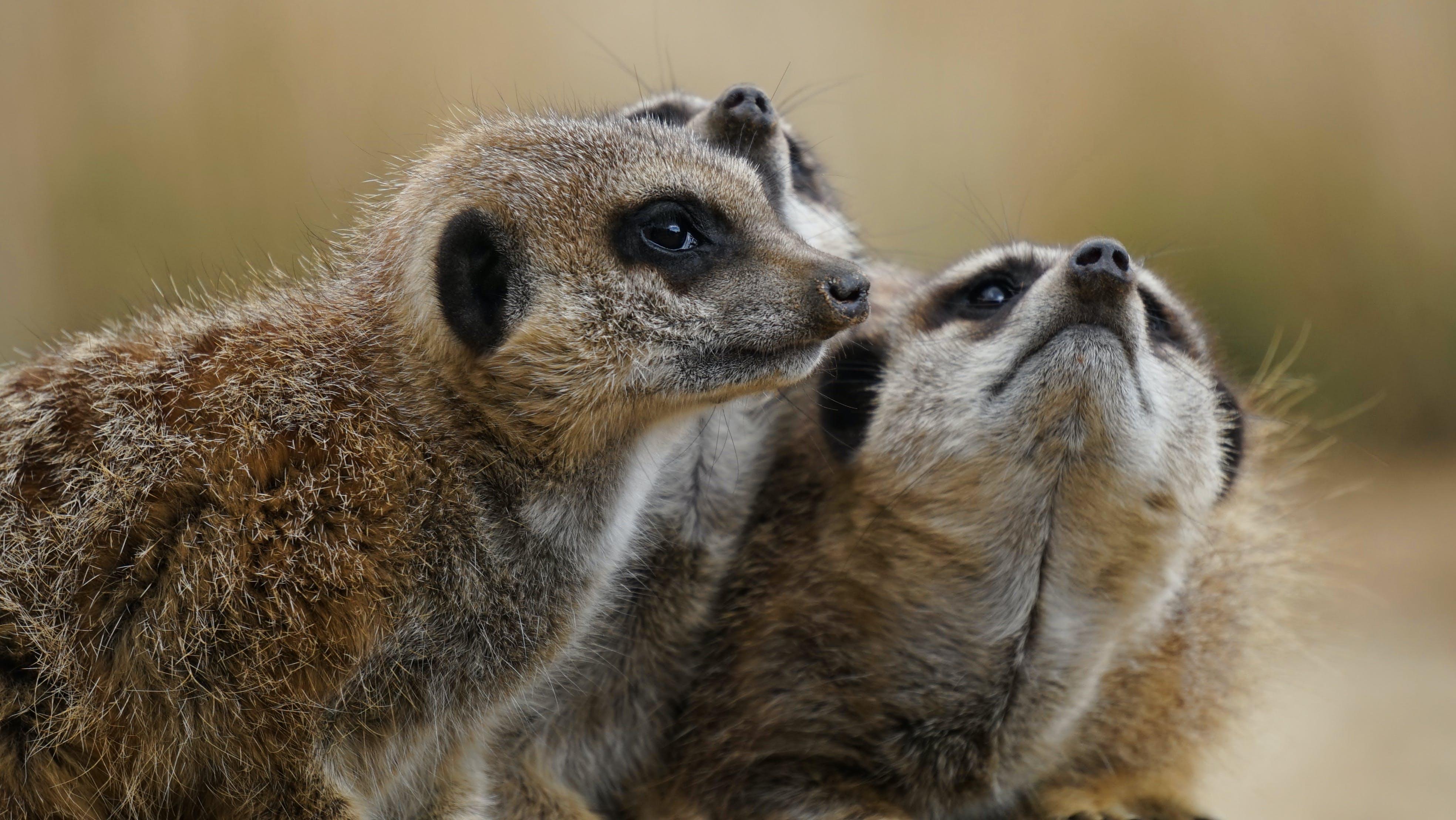 Free stock photo of animals, wild animals, mammals, meerkats