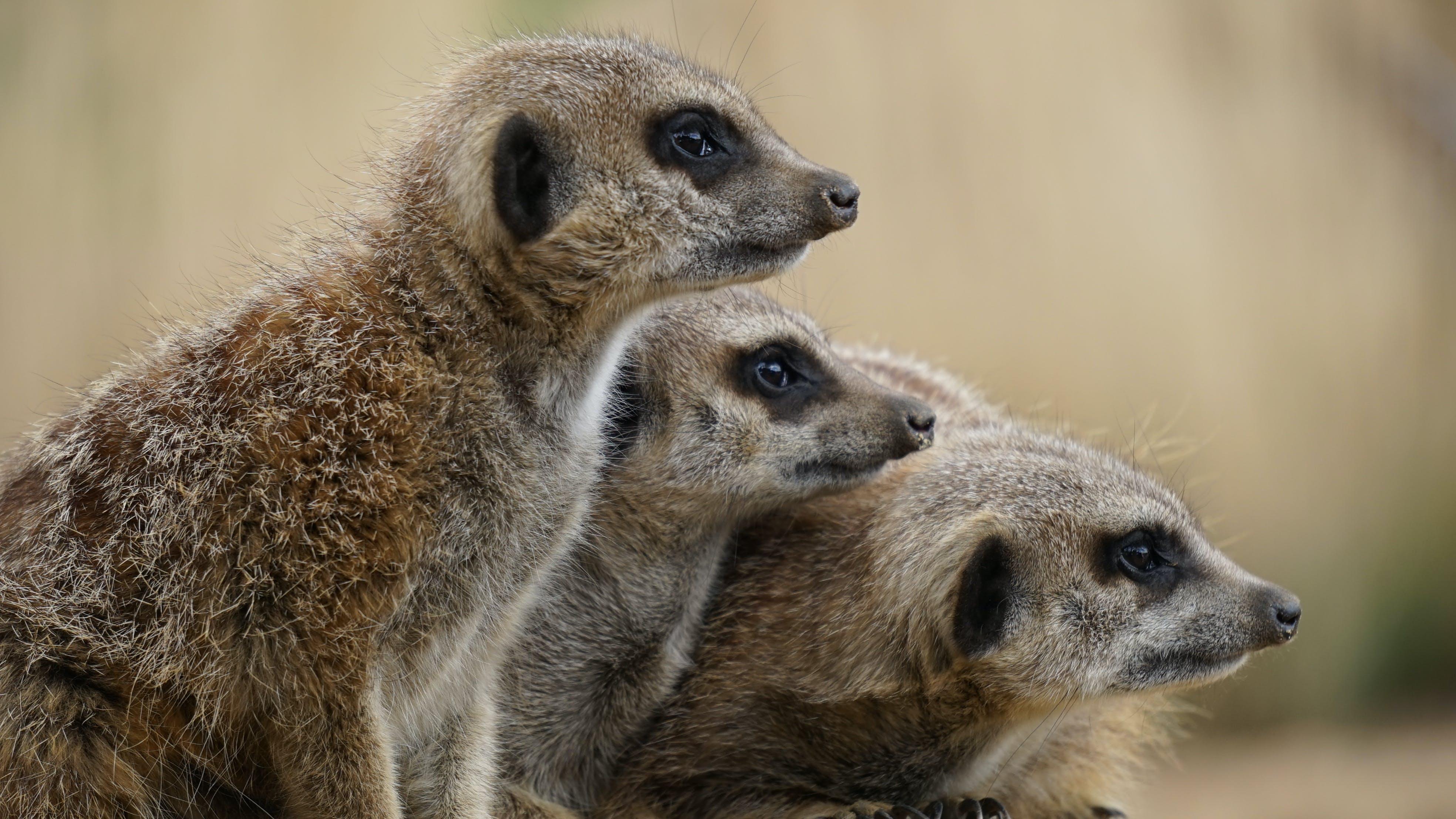 animals, mammals, meerkats