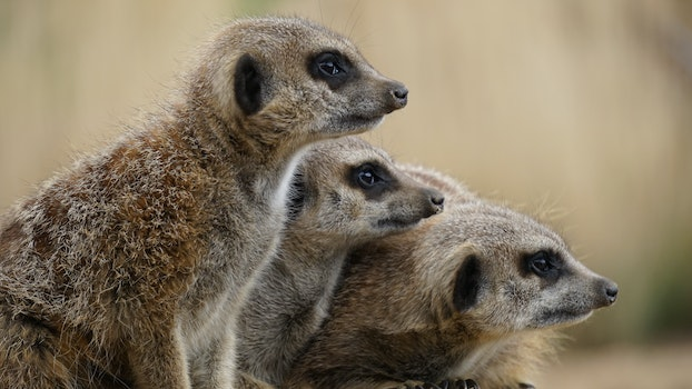 Free stock photo of animals, wild animals, mammals, meerkats