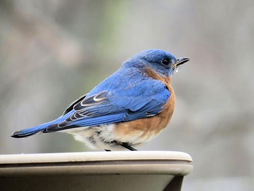東部藍鳥, 水盆, 知更鳥 的 免費圖庫相片
