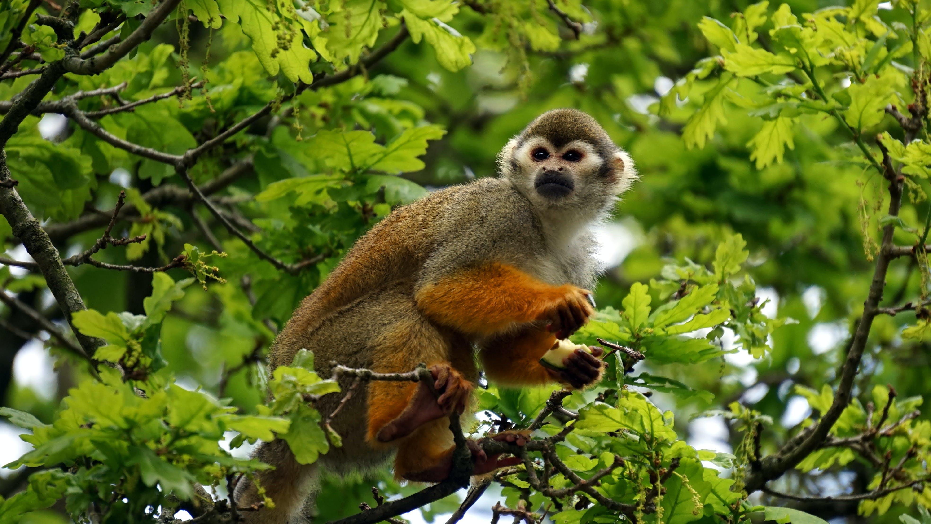 Gratis lagerfoto af dyr, egern abe, primat, træ