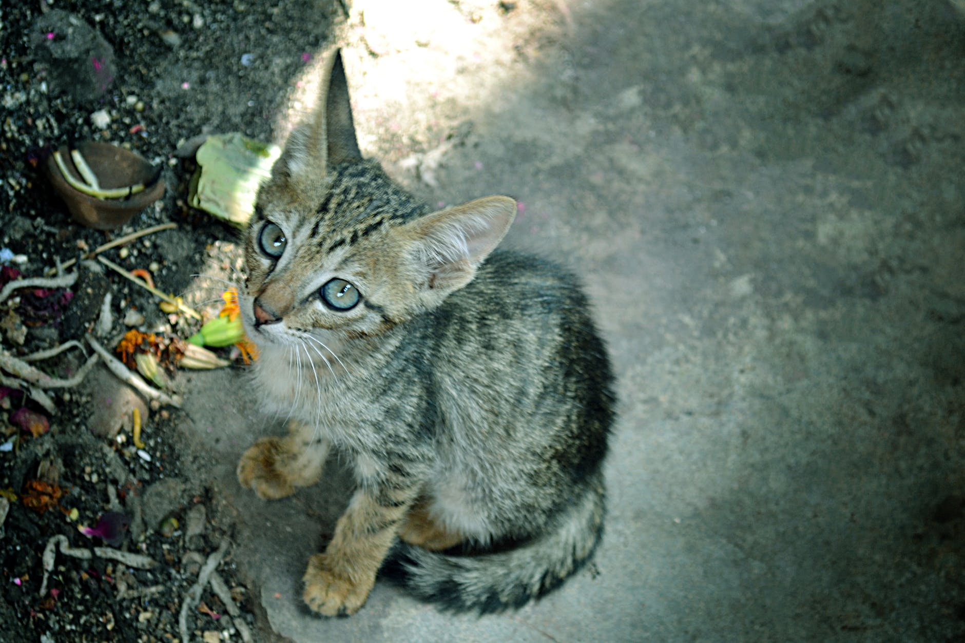 Indian billi native cat