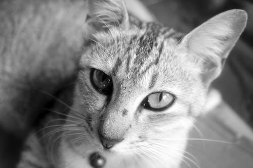 Ảnh lưu trữ miễn phí về cận cảnh, chụp ảnh động vật, con mèo, con vật
