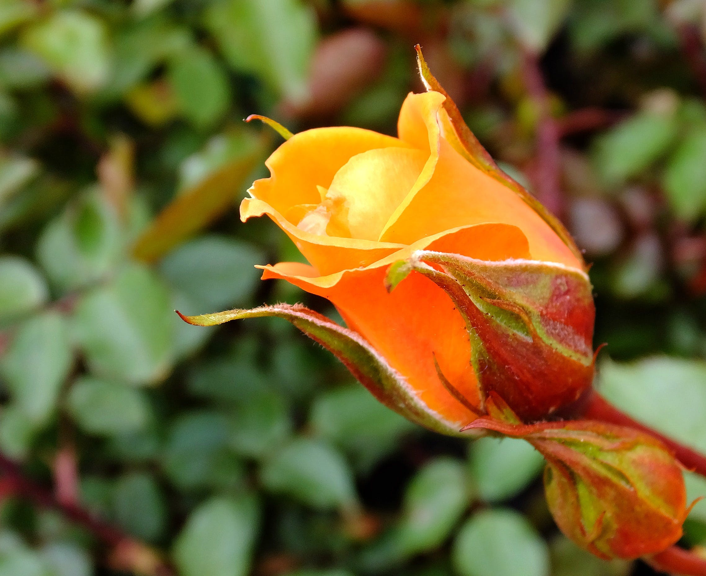 Orange Rose Bud Close-up Photography