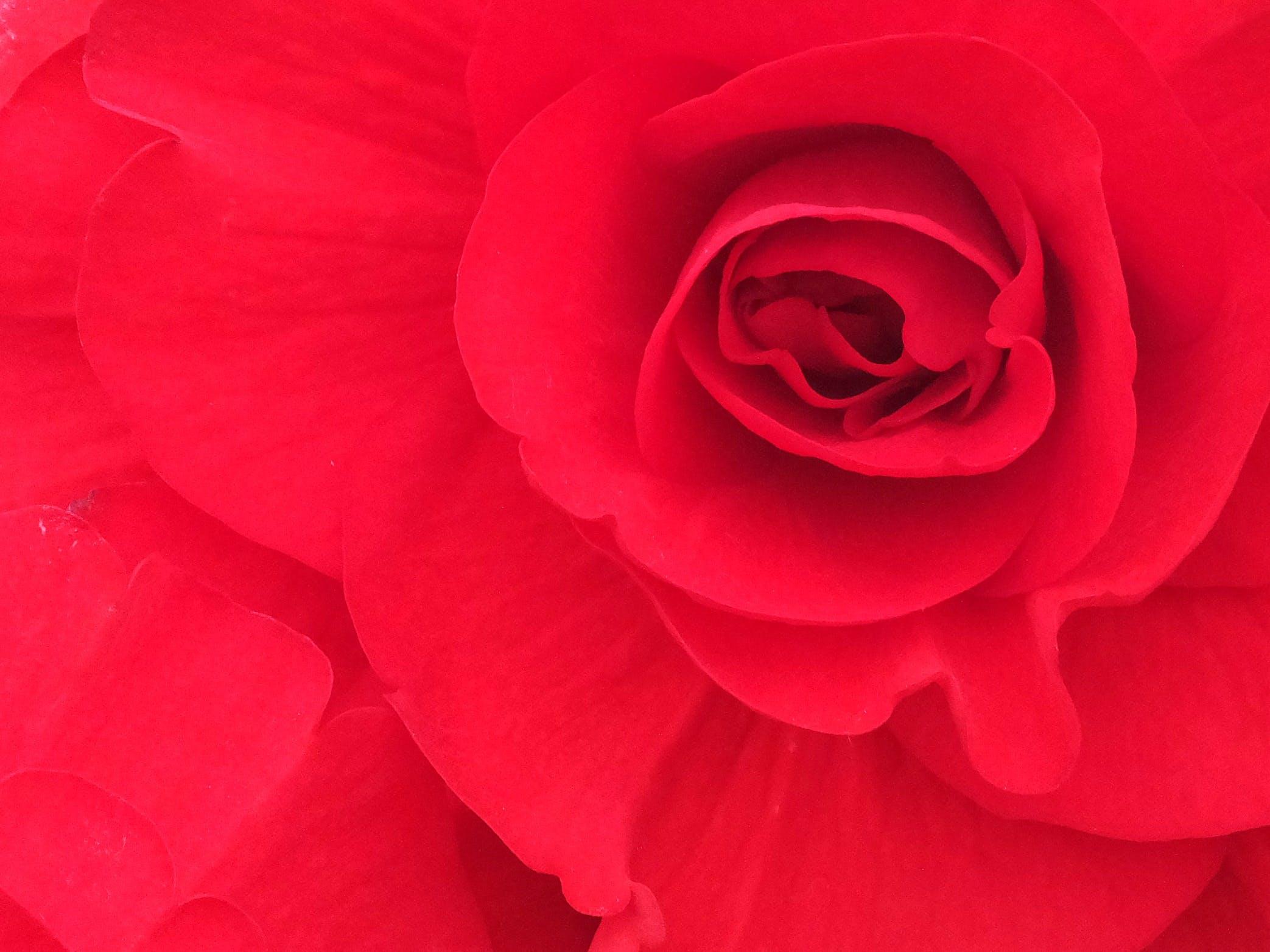 Free stock photo of begonia, flower, garden, garden plant