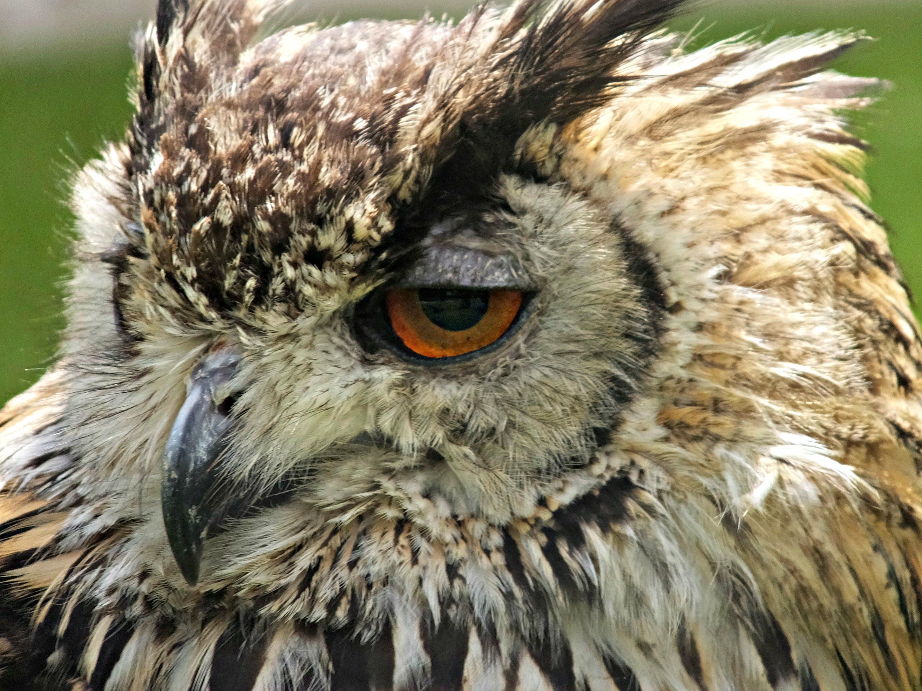 Free stock photo of bird of prey, eagle owl, feathers, macro