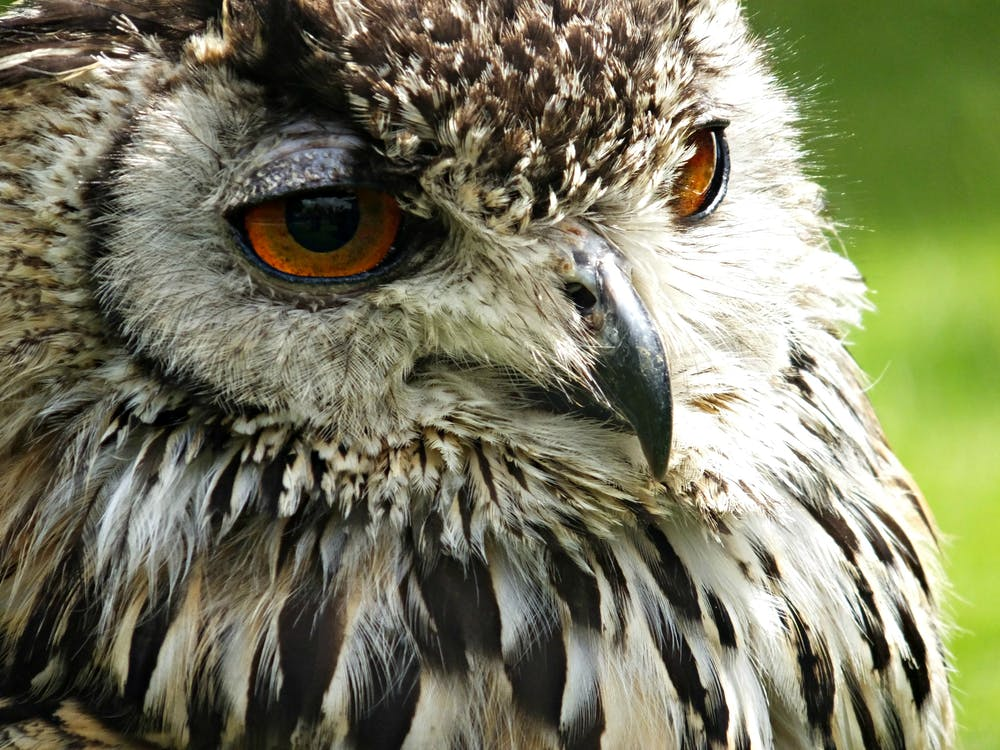 animal, gros plan, hibou