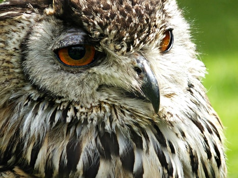 Free stock photo of bird, animal, owl, macro