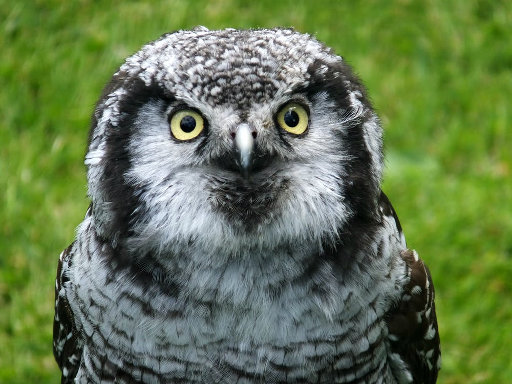 Free stock photo of bird of prey, birds eye, feathers