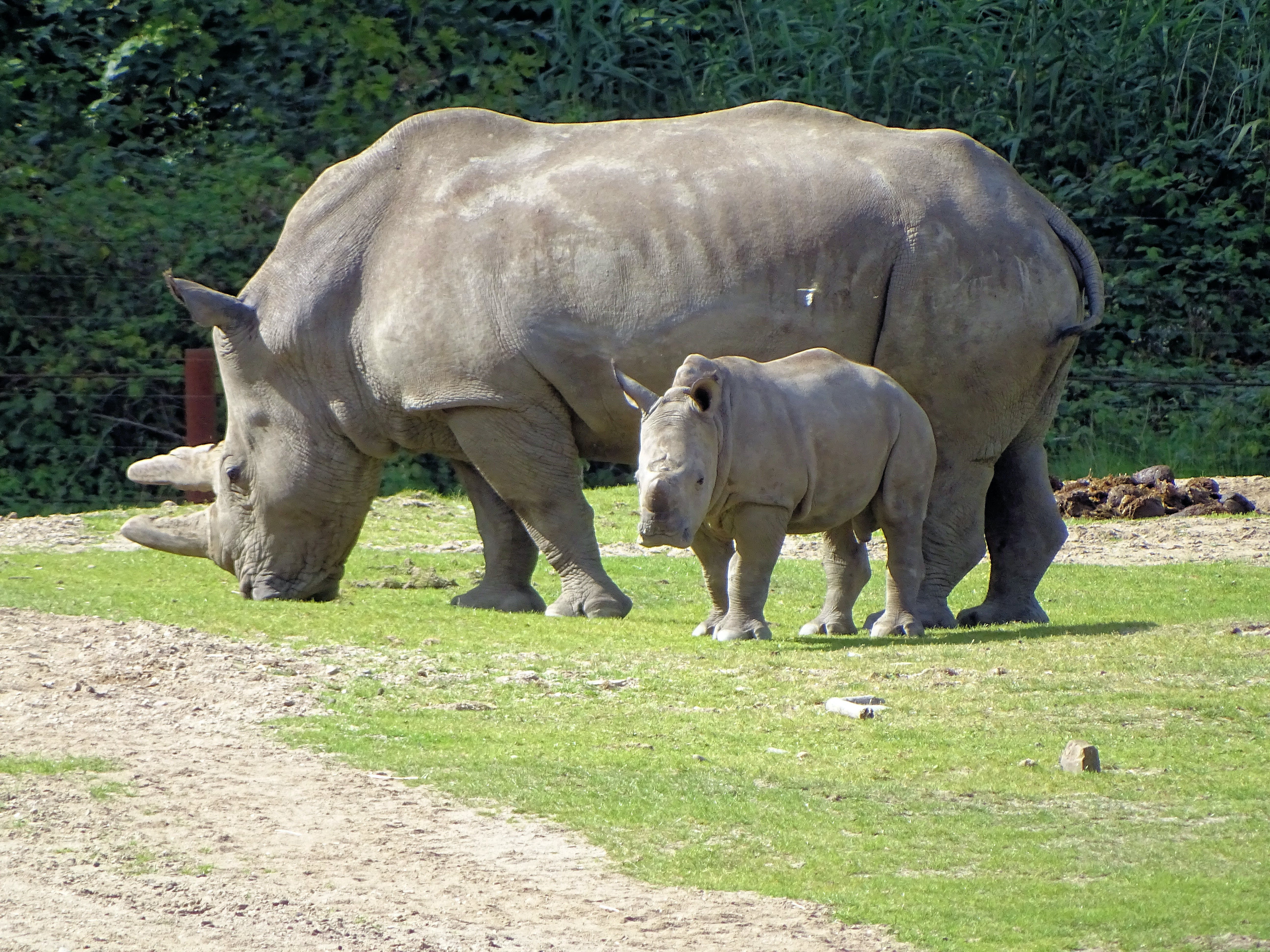Free stock photo of Rhino and Young
