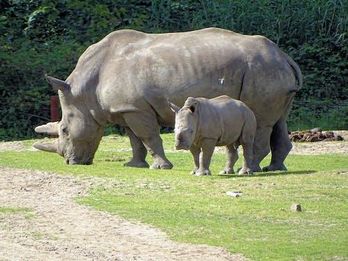 Darmowe zdjęcie z galerii z rhino and young