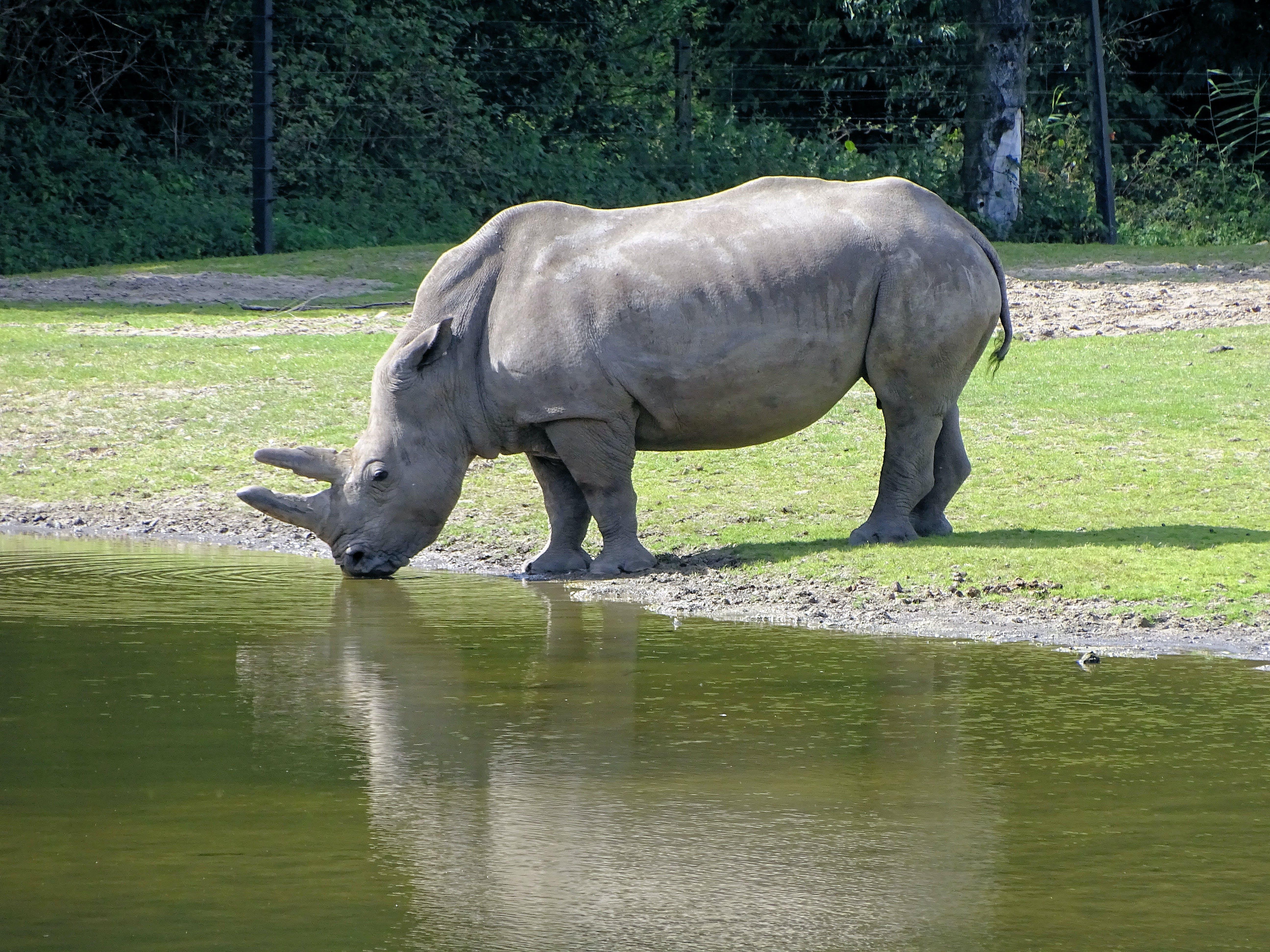 Free stock photo of rhino