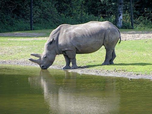 Darmowe zdjęcie z galerii z nosorożec